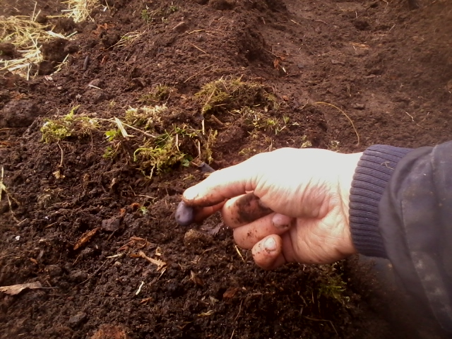 sowing broad beans (vicia faba)