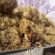The cat inspecting a load of hay