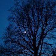 Half moon and the oak