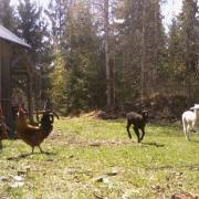 roosters and lambs