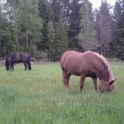 the horses on pasture