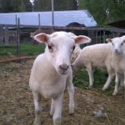 Lambs in the summer evening