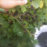 currants, blackcurrants