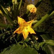 late blooming zucchini
