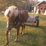 Raiku, learning to pull a cart