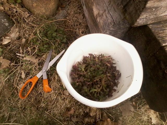 harvesting nettles