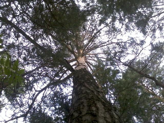 I slept under this pine